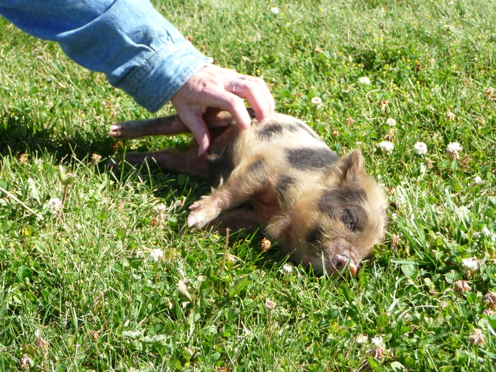 american male pig essay Pig a pig has a snout for a nose, small eyes, and a small, curly tail it has a thick body and short legs there are four toes on each foot, with the longer, middle toes used for walking 2 / 468: video games and violence the people who don't want violence in video games should try figure out something that could replace violence.